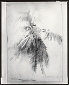 view Coconut Palm, Dominica [drawing] / (photographed by Peter A. Juley & Son) digital asset number 1
