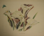 view Calla Lilies, [photomechanical print] digital asset number 1