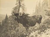 view An Alaskan Moose [photomechanical print] digital asset number 1
