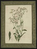view <I>Seed catalog page, Erigeron Philadelphicus, Vol XII, Plate 7</I> digital asset number 1