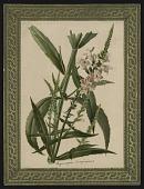 view <I>Seed catalog page, Vol. VII, Plate No. 5, Physostegla Virginiana</I> digital asset number 1