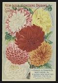 view <I>Nursery Catalog Page, Dingee & Conrad Co.,Dahlias</I> digital asset number 1