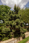 view Pinus thunbergii 'Thunderhead' digital asset: Photographed by: Hannele Lahti