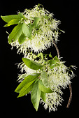 view Chionanthus virginicus digital asset: Photographed by: Hannele Lahti