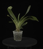 view Angraecum magdalenae digital asset: Photographed by: Creekside Digital