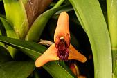 view Maxillaria elatior digital asset: Photographed by: Hannele Lahti