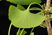 view Ginkgo biloba 'Princeton Sentry' digital asset: Photographed by: Hannele Lahti