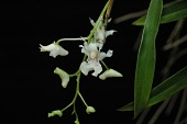 view Dendrobium chalmersii digital asset: Photographed by: Eugene Cross
