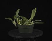 view Bulbophyllum tridentatum digital asset: Photographed by: Creekside Digital