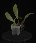 view Bulbophyllum purpureorhachis 'Joe Palermo' digital asset: Photographed by: Creekside Digital
