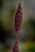view Bulbophyllum purpureorhachis digital asset: Photographed by: Eva Lanyi
