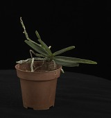 view Angraecum didieri digital asset: Photographed by: Creekside Digital