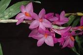 view Dendrobium glomeratum digital asset: Photographed by: Eugene Cross