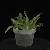 view Angraecum longicalcar digital asset: Photographed by: Creekside Digital