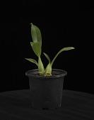 view Grammatophyllum scriptum digital asset: Photographed by: Creekside Digital