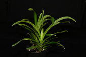 view Angraecum sesquipedale digital asset: Photographed by: Gene Cross