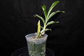 view Catasetum pileatum digital asset: Photographed by: Gene Cross