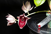 view Catasetum pileatum var. imperiale ('Pierre Couret' × 'SVO Blood Red') digital asset: Photographed by: Gene Cross