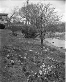 view [Bates Garden]: naturalized bulbs on hillside sloping down to water. digital asset: [Bates Garden] [safety film negative]: naturalized bulbs on hillside sloping down to water.