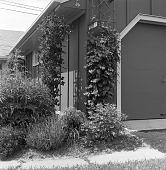 view [MacFadden Garden]: clematis on trellis by house. digital asset: [MacFadden Garden] [safety film negative]: clematis on trellis by house.