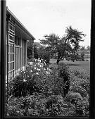view [MacFadden Garden]: garden border-foundation planting alongside house. digital asset: [MacFadden Garden] [photographic print]: garden border-foundation planting alongside house.