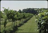 view [Perilla Vineyard]: view of vineyard; note horse in left background. digital asset: [Perilla Vineyard]: view of vineyard; note horse in left background.: 1976 Sep.