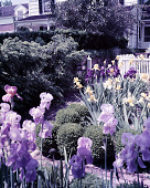 view [Unidentified Iris Garden]: iris garden and house. digital asset: [Unidentified Iris Garden] [film transparency]: iris garden and house.