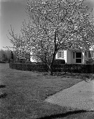 view [Unidentified Garden in Unknown Location]: hedge, house, and tree. digital asset: [Unidentified Garden in Unknown Location] [safety film negative]: hedge, house, and tree.