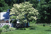 view [Unidentified Garden in Unknown Location]: Kousa dogwood, with decoratively pierced brick wall and garage area on left. digital asset: [Unidentified Garden in Unknown Location]: Kousa dogwood, with decoratively pierced brick wall and garage area on left.: 1998 Jun.