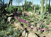 view [Las Palmas Altas]: African daisies and desert plants grown together as they were in the original garden. digital asset: [Las Palmas Altas]: African daisies and desert plants grown together as they were in the original garden.: 2007 Mar.