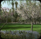 view [Hunter Garden]: Mrs. Robert Hunter's garden of fruit trees photographed from under a pepper tree. The palms in the background are old specimans of the native Washingtonia. digital asset: [Hunter Garden]: Mrs. Robert Hunter's garden of fruit trees photographed from under a pepper tree. The palms in the background are old specimans of the native Washingtonia.: [between 1914 and 1949?]