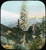 view Unidentified Garden in California. [Possibly near Mt. Williamson in the Sierra Nevada] digital asset: Unidentified Garden in California. [Possibly near Mt. Williamson in the Sierra Nevada.]: [between 1914 and 1949?]
