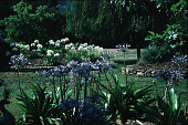view [Dougherty Garden]: view of garden with agapanthus in foreground. digital asset: [Dougherty Garden]: view of garden with agapanthus in foreground.: 1995 Jul.