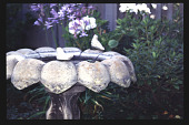 view [Mitchell Garden]: birdbath with Agapanthus. digital asset: [Mitchell Garden]: birdbath with Agapanthus.: 1997 May.