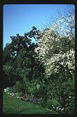 view [Volk Garden]: garden border with flowering white crape myrtle. digital asset: [Volk Garden] [slide]: garden border with flowering white crape myrtle.