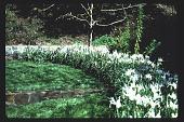 view [Untitled Garden in Bel Air, California]: cirular bed of white iris showing change of level in lawn. digital asset: [Untitled Garden in Bel Air, California] [slide]: cirular bed of white iris showing change of level in lawn.