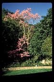 view [Untitled Garden in Bel Air, California]: spectacular Chorisia speciosa (silk floss tree) in lower garden. digital asset: [Untitled Garden in Bel Air, California] [slide]: spectacular Chorisia speciosa (silk floss tree) in lower garden.