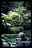view [Untitled Garden in Bel Air, California]: Datura (Brugmansia) in lower garden. digital asset: [Untitled Garden in Bel Air, California] [slide]: Datura (Brugmansia) in lower garden.