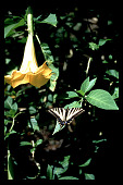 view [Untitled Garden in Bel Air, California]: detail of Datura (Brugmansia) with Swallowtail butterfly. digital asset: [Untitled Garden in Bel Air, California] [slide]: detail of Datura (Brugmansia) with Monarch butterfly.