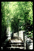 view [Untitled Garden in Bel Air, California]: continuation of stone stairway through bamboo grove. digital asset: [Untitled Garden in Bel Air, California] [slide]: continuation of stone stairway through bamboo grove.