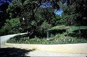 view [Untitled Garden, Pebble Beach, California]: the driveway, showing native oaks and iris. digital asset: [Untitled Garden, Pebble Beach, California]: the driveway, showing native oaks and iris.: 1999 Apr.