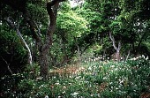 view [Untitled Garden, Pebble Beach, California]: the white geophyte garden in spring. digital asset: [Untitled Garden, Pebble Beach, California]: the white geophyte garden in spring.: 1999 Apr.