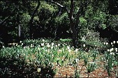 view [Untitled Garden, Pebble Beach, California]: the white geophyte garden and tulips. digital asset: [Untitled Garden, Pebble Beach, California]: the white geophyte garden and tulips.: 1999 Apr.