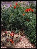 "view [Lauren Springer's Windsor, Colorado Garden]: gravel mulch, cactus and poppies in the ""hellstrip."" digital asset: [Lauren Springer's Windsor, Colorado Garden] [transparency]: gravel mulch, cactus and poppies in the ""hellstrip."""