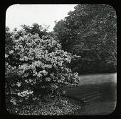 view [Milbank]: Kalmia latifolia. digital asset: [Milbank] [slide]: Kalmia latifolia.