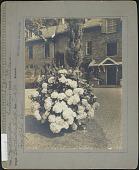 view Goodwin Garden: Hydrangea hortensia, variety Otaksa digital asset: Goodwin Garden [photoprint]