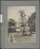 view Unidentified Garden in Greenwich, Connecticut: white wisteria. digital asset: Unidentified Garden in Greenwich, Connecticut [photoprint]: white wisteria.
