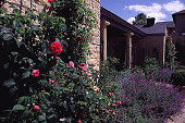 view [Windy Hill]: roses and lavender in courtyard. digital asset: [Windy Hill]: roses and lavender in courtyard.: 1998 Jun.