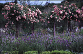 view [Windy Hill]: 'The Fairy' rose standards and lavender. digital asset: [Windy Hill]: 'The Fairy' rose standards and lavender.: 1999 Jul.