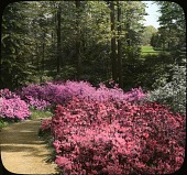view [Henry Francis du Pont Winterthur Museum Gardens]: azaleas against a background of tall trees. digital asset: [Henry Francis du Pont Winterthur Museum Gardens]: azaleas against a background of tall trees.: [between 1914 and 1949?]
